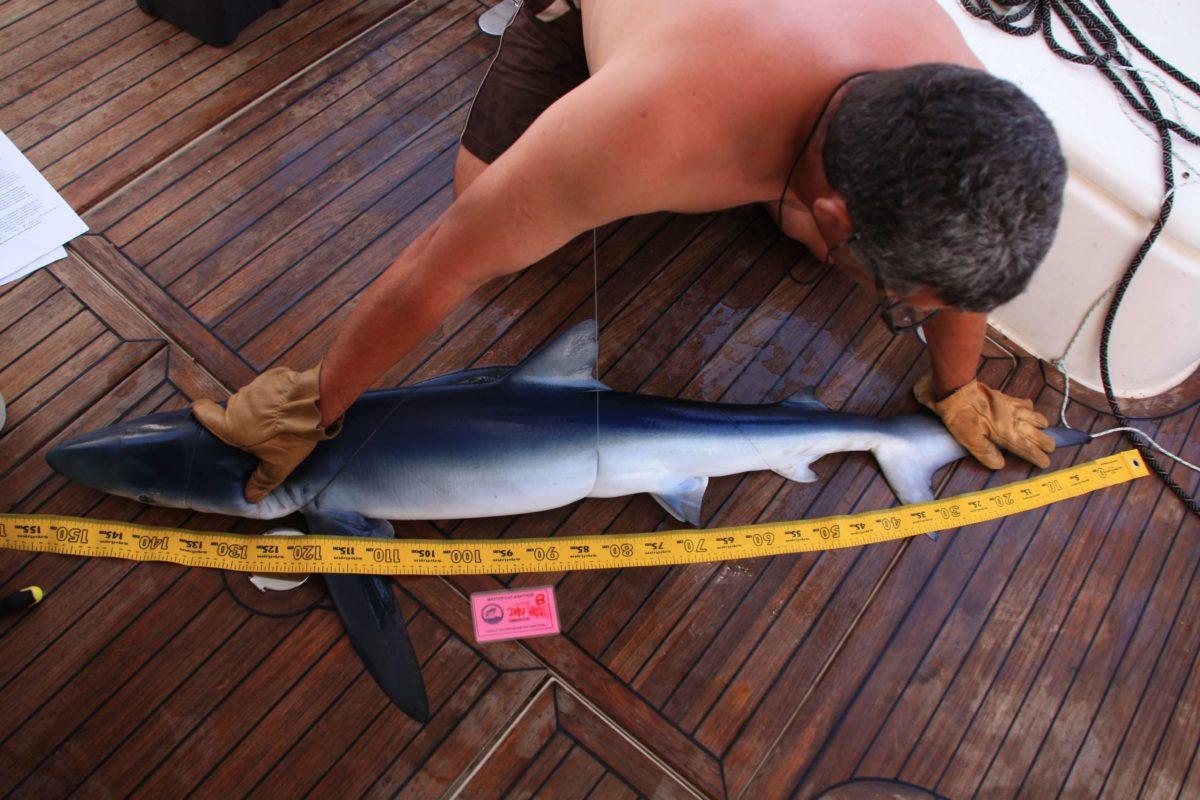 requin bleu ailerons