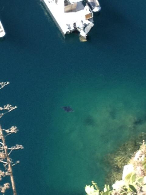 Observation de Diable de mer Mobula mobular depuis le Rocher monégasque
