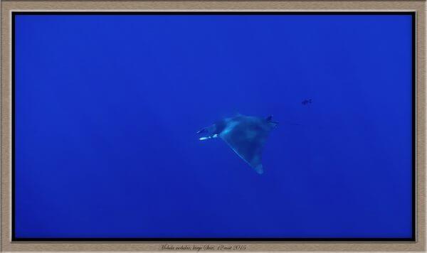 Observation de deux diables de mer méditerranéens Mobula mobular au large du Cap Sicié à Toulon