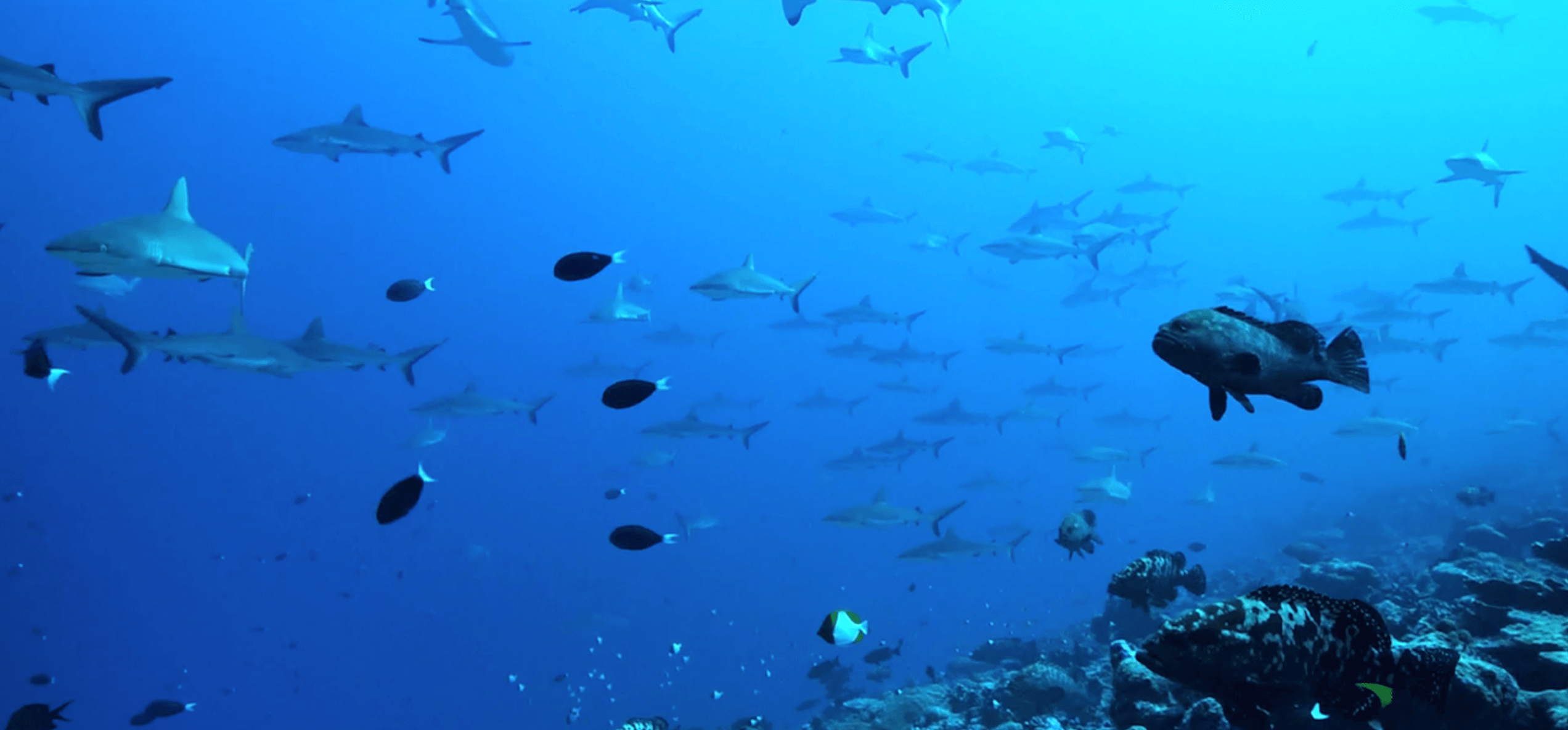 requin fakarava ailerons