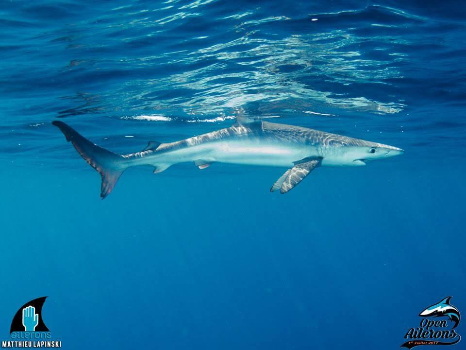 Les requins étaient présents cet été, et Ailerons aussi !