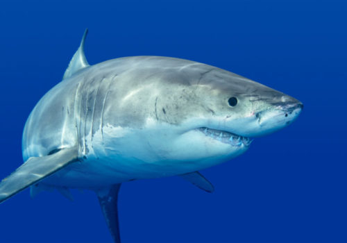 requin blanc Méditerranée