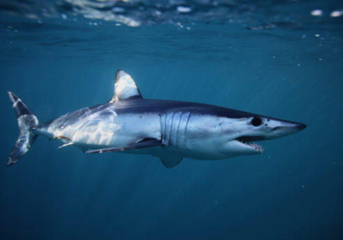 shortfin mako shark, Isurus oxyrinchus, off Cape Point, South Africa, Atlantic Ocean