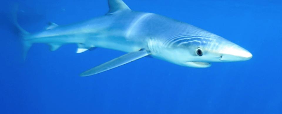 Requins de Méditerranée en crise : Nouveau rapport du WWF sur une situation qui demande des actions urgentes à grande échelle